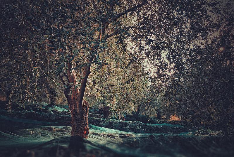 oliveto-casa-novaro-al-mare