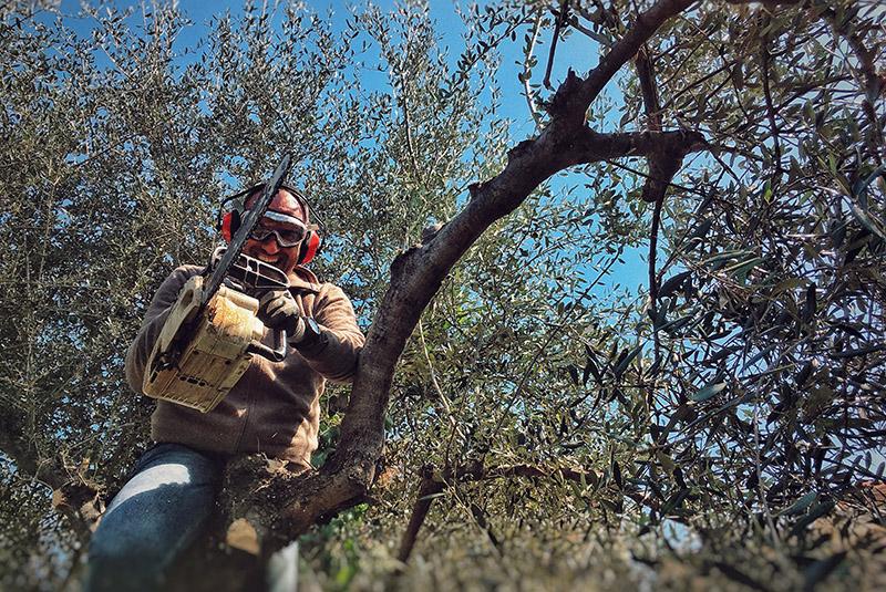 oliveto-potatura-casa-novaro